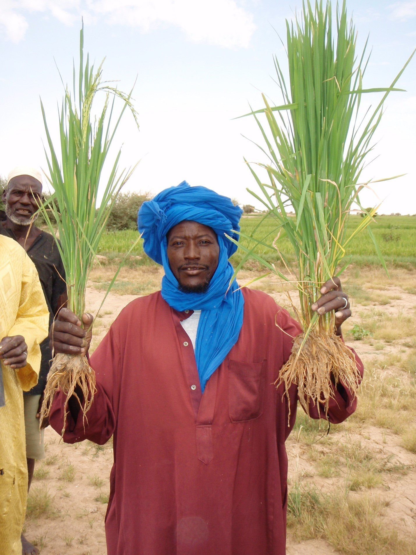 Bouba Boureima shows two uprooted rice hills: On the left: conventionally planted rice: 3-5 plants transplanted together in one clump; On the right: one SRI plant.